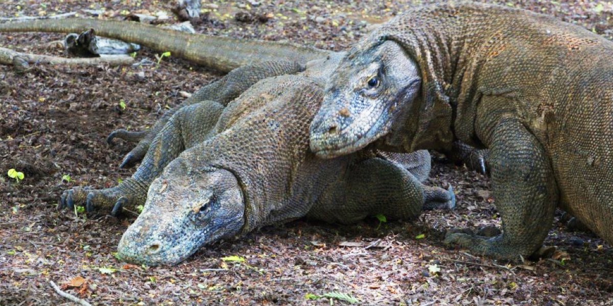 Visiting the home of the imposing Komodo Dragon